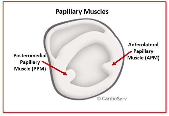 PSAX Papillary Muscles