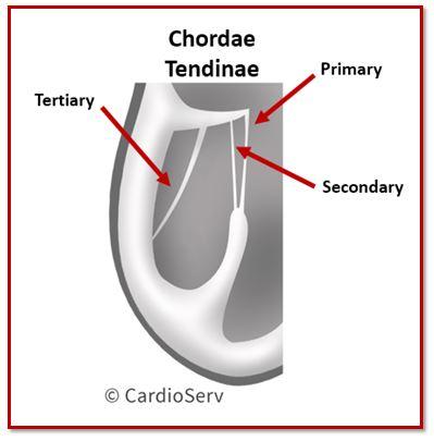 Chordae Tendinae Types